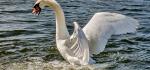 Cat2 B 108 Swan Spitting by Linda van Geene