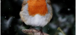 25 Robin In Snow by Hilary Moore