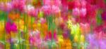 19 Primulae by John Humphrey