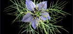 32 Love In A Mist by John Marshall