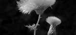 06 Thistle Seeds by Ian Shaw