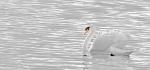 15 Swan by Ian Shaw
