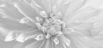 28 Dahlia by John Humphrey