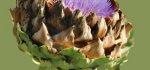 04 Artichoke Flower by Mike Mitchell