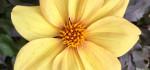 08 Sissinghurst Dahlia by Emyr Williams