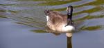 15 Goose Encounter by Ully Jorimann