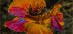 16 Solarized Poppy by Richard Anthony
