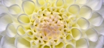 Pastel Dahlia by Ully Jorimann