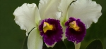 Cattleya orchid by Graham Ford