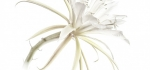 Epiphyllum cactus by John Humphrey