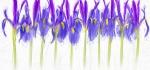Irises by John Humphrey