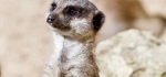 Meerkat by Graham Hutchinson