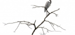Tricoloured heron by John Humphrey