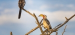 Yellow Billed Hornbills by David Henson