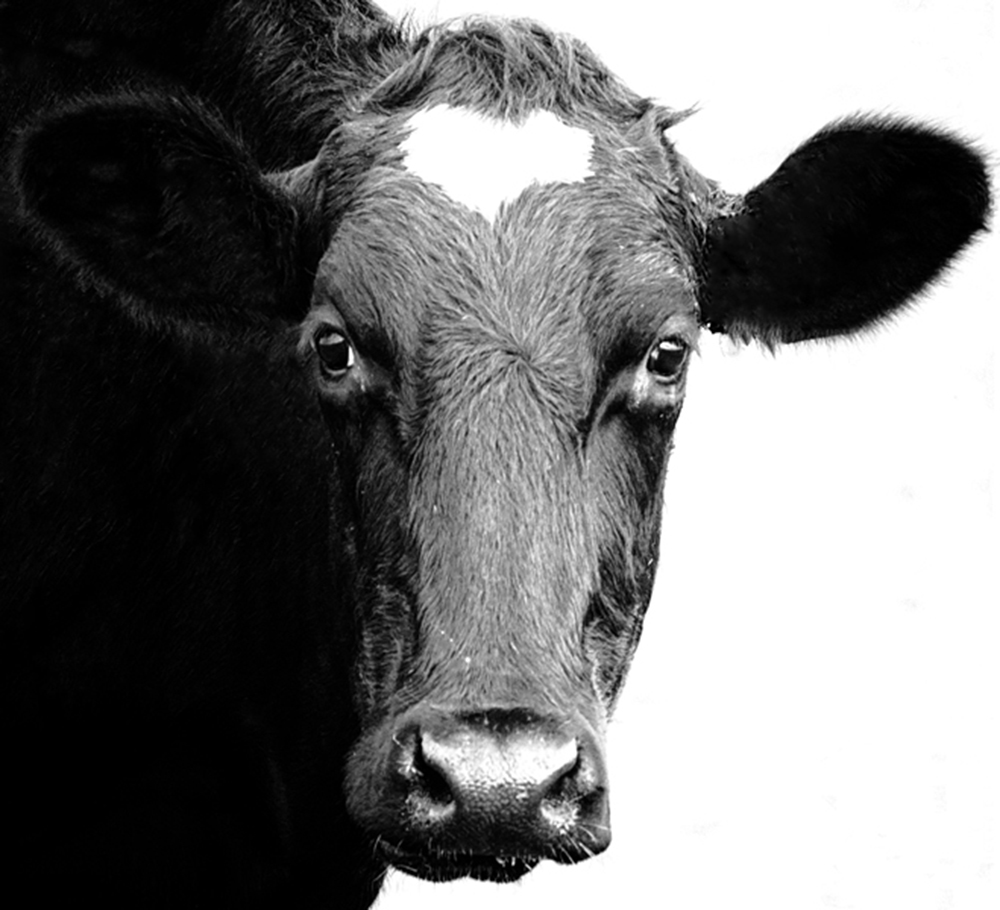 Black and white cow by Hilary Moore