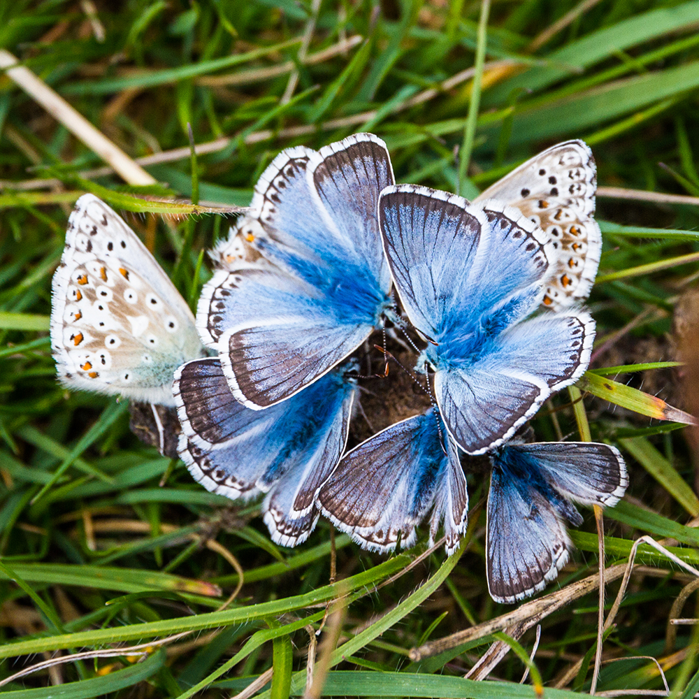 Chalk Hill Blue flower by Colin Drake
