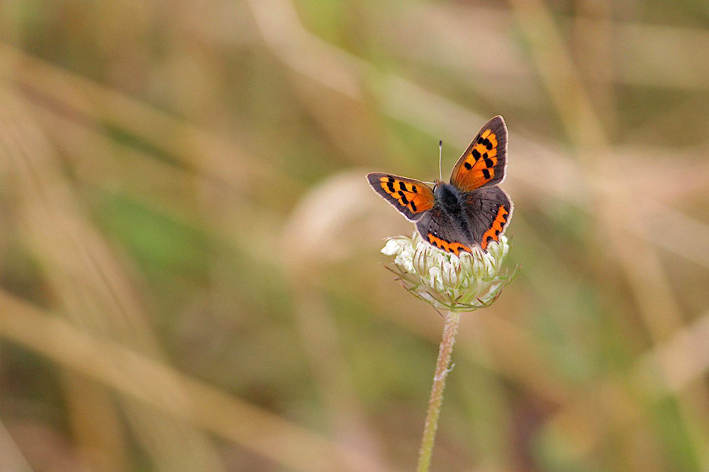 Small copper by Vicky  Sinclair