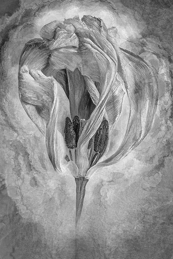 Tulip by John Humphrey