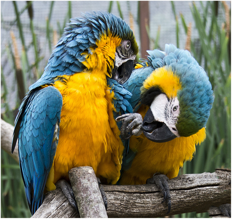 01 Two Macaws Preening by Hilary Moore