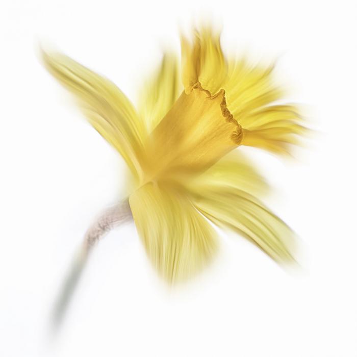 11 Daffodil by John Humphrey