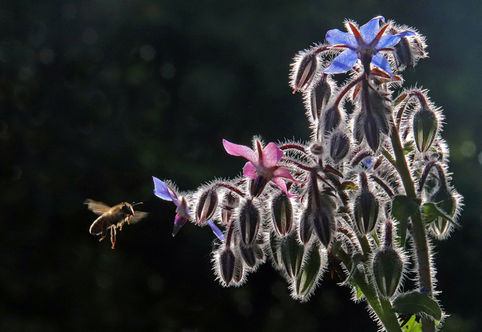 Bee and borage by Ian Shaw