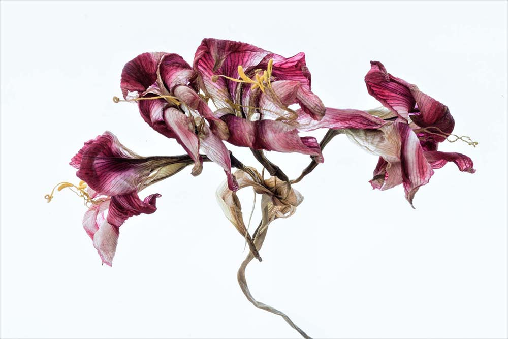 Fading amaryllis by Richard Anthony