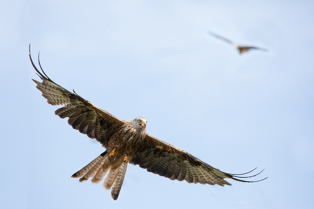 Red kite soaring by Rob Harley