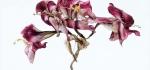 Fading amaryllis by Richard Anthony