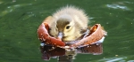 Mandarin duckling by Vicky Sinclair