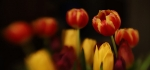 Tulips by Vicky Sinclair