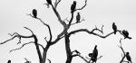 Cormorant family tree by Dennis Barlow