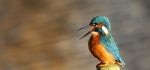 Kingfisher by Vicky Sinclair