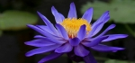 Water lily at Kew Gardens by Ian Shaw